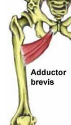 adductor brevis muscle