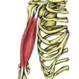 Biceps Brachii Muscle