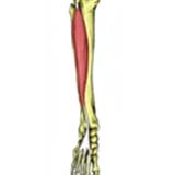 Extensor Digitorum Longus Muscle