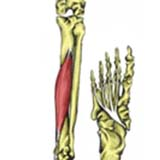 Flexor Digitorum Longus Muscle