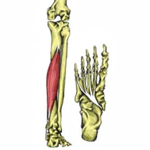 flexor digitorum longus, Cephalic Vein
