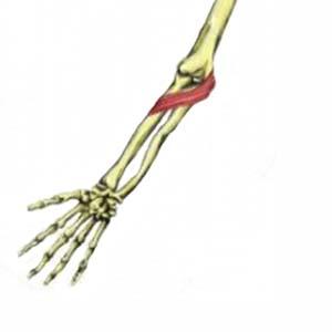 pronator teres, Human Body