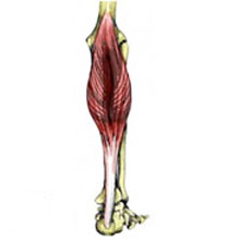 calf strain - treatment, exercises & rehabilitation, Cephalic Vein