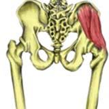 Gluteus Medius Muscle