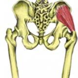 Gluteus Minimus Muscle