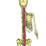 Multifidus Muscle