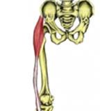 Tensor Fascia Latae Muscle