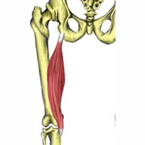Semimembranosus muscle