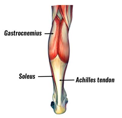 The calf muscles