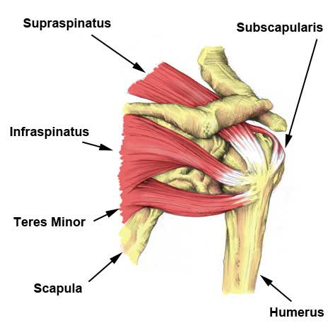 Shoulder rotator cuff muscles