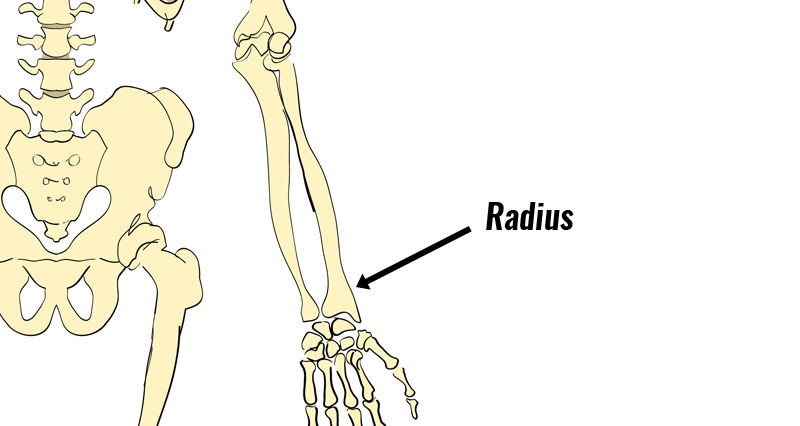 Distal radius epiphysis