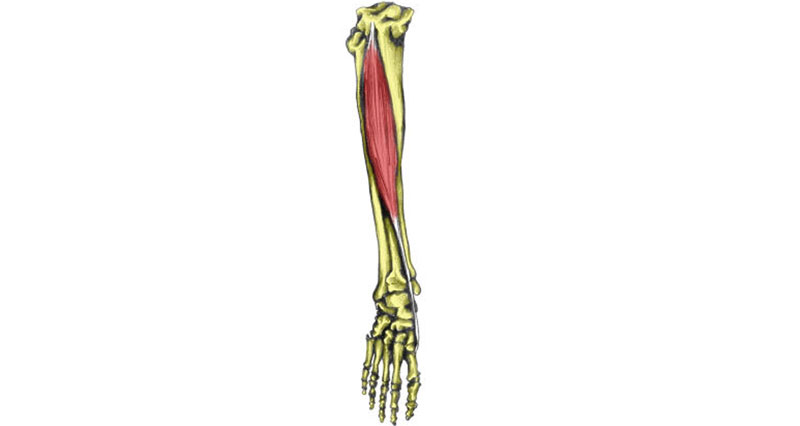 Tibialis anterior muscle - Anterior compartment syndrome