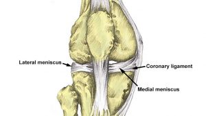 Coronary ligament knee joint