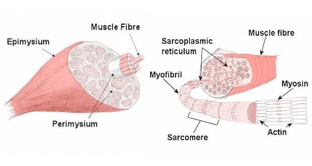 Estructura muscular esquelética