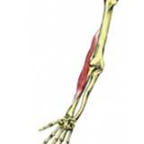 Brachioradialis Muscle