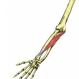 Flexor Carpi Radialis