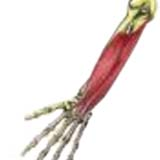 Flexor Digitorum Superficialis hand muscle
