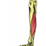 Flexor Hallucis Longus Muscle