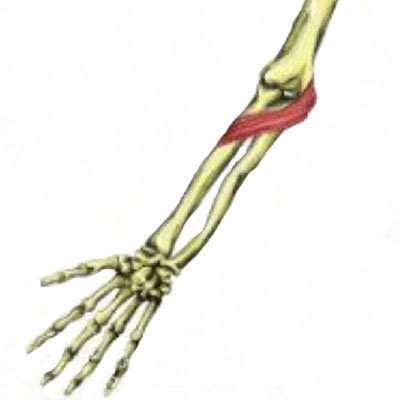 Pronator teres elbow muscles