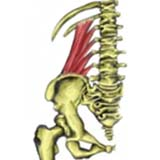 Quadratus Lumborum Muscle
