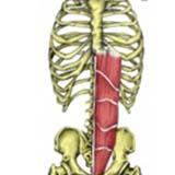 Rectus Abdominis Muscle