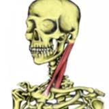 Sternocleidomastoid Muscle
