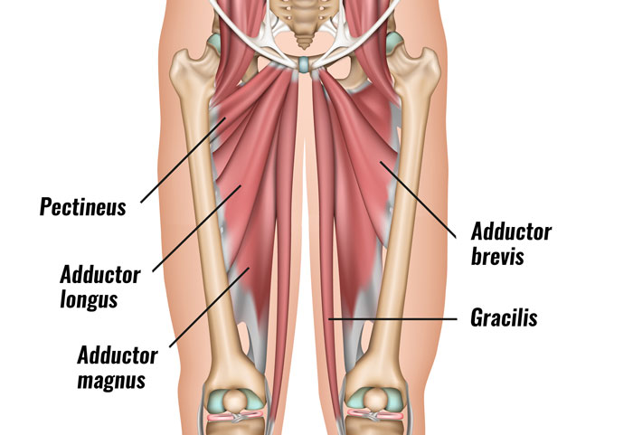 Adductor muscles - groin mucles