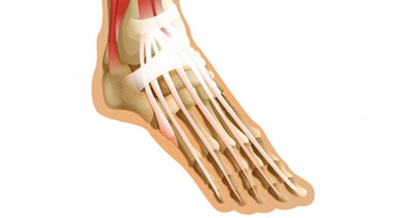 The foot tendons