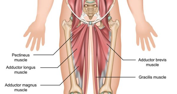 Groin muscles