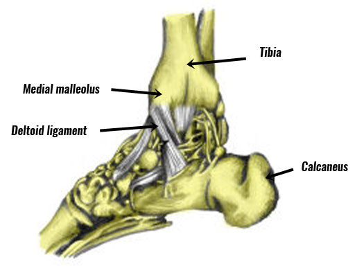 Deltoid ligament on the inside of the ankle