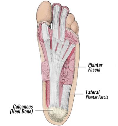 plantar fascia image