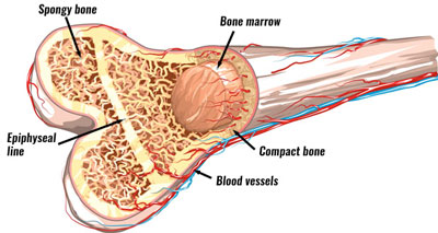 Bone structure, growth plate