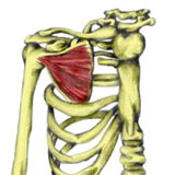 Shoulder joint muscles