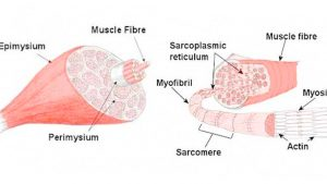 Human muscle structure