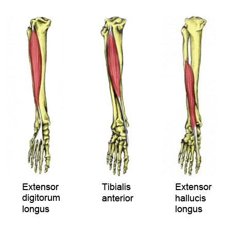 Foot extensor muscles