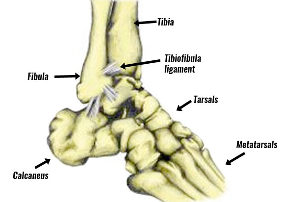 Ankle anatomy high ankle sprain