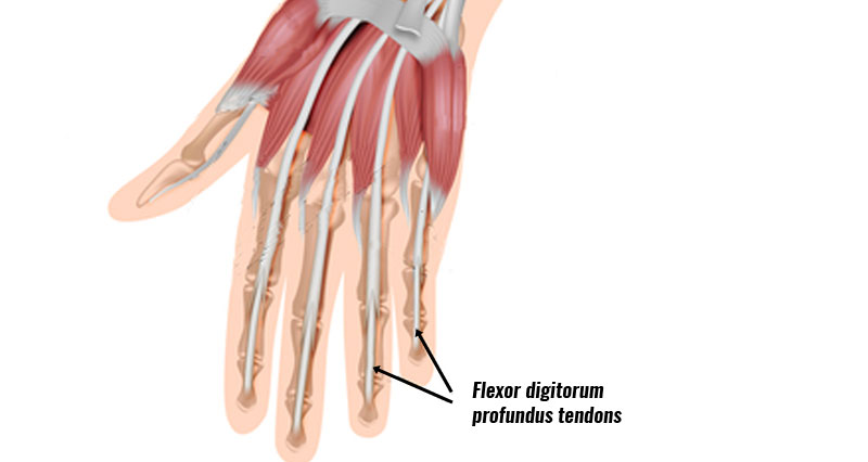 Jersey finger tendons