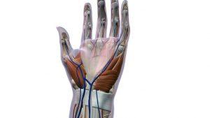 Wrist strain anatomy - tendonitis