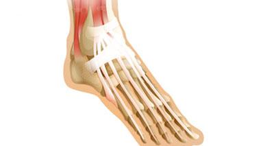 Extensor tendons of the foot