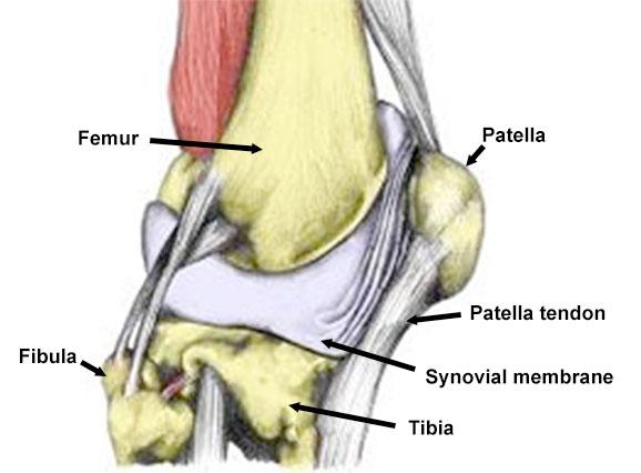 Synovial plica labelled