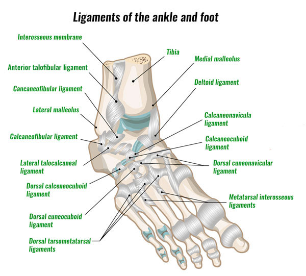 ankle and foot ligaments
