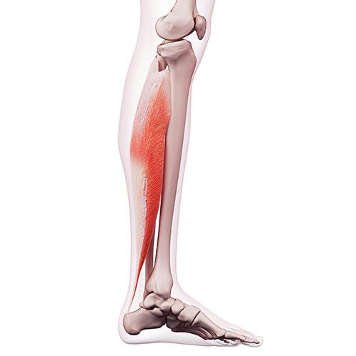 Soleus muscle